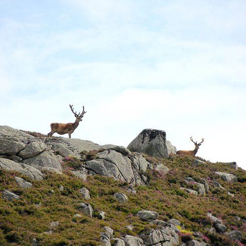 La berrea del venado en Asturias